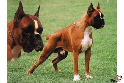 Boxer i njegovi pretci