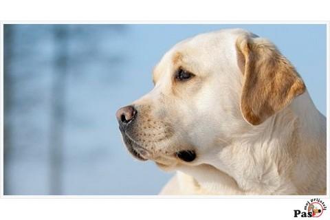 Osobine Labradora