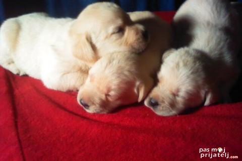 Razvoj šteneta